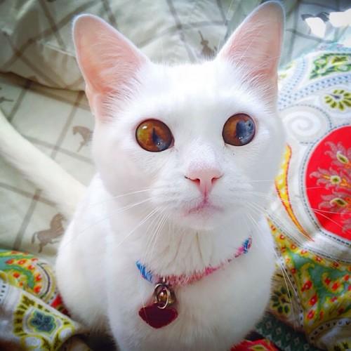 worlds-most-beautiful-cats-28-57fb92a82cae8__700.jpg